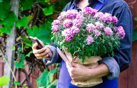 A woman gardener holds a pink blooming chrysanthemum in her hands. Transplanting plants and flowers. Close up. 免版税图像