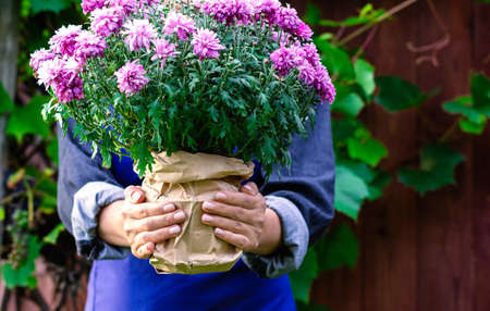 A woman gardener holds a pink blooming chrysanthemum in her hands. Transplanting plants and flowers. Close up. Фото со стока