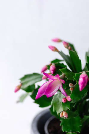 Pink Schlumbergera, Christmas cactus or Thanksgiving cactus on white background. Vertical crop. Close-up.