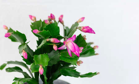 Pink Schlumbergera, Christmas cactus or Thanksgiving cactus on white background. Close-up. Copy space. Stock Photo