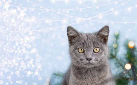 Little cute gray kitten British cat on the background of the Christmas tree. Christmas background with garland lights. Copy space.