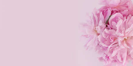 Romantic floral banner. Pink peonies on a pink background. Floral background. Space for text.