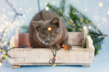 A young gray British cat plays with a New Year garland on the background of a Christmas tree. Selective focus.