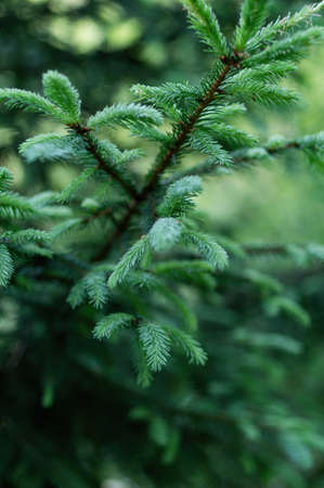 Branches with young spruce shoots on a green blurred background. Green natural background. Vertical crop. Фото со стока