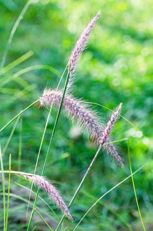 Perennial grass Pennisetum close up. Ornamental plant for the garden. Vertical crop.