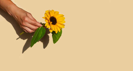 One sunflower flower in a female hand on a beige pastel background. Minimal concept. Copy space. Close up. 免版税图像