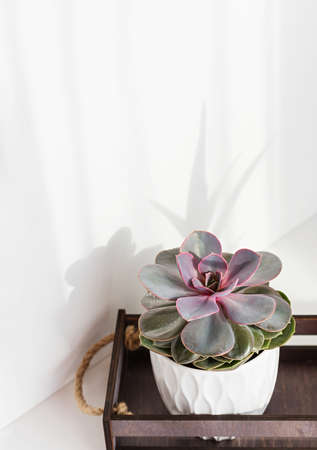 Succulent plant. Close up of Echeveria imbricata, Blue Rose Echeveria, growing in a white pot a light background. Vertical crop. 免版税图像