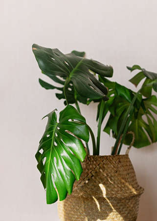 Beautiful monstera plant for home decoration. Tropical plants in indoor floriculture. Close up.