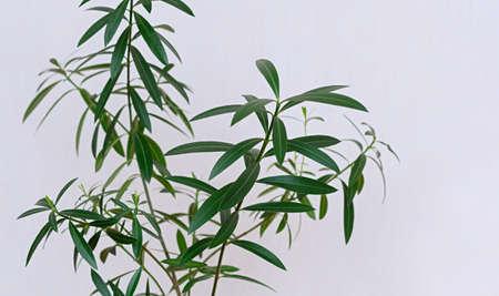 Indoor plant Nerium oleander close up. Tropical plants for home decoration. Poisonous house plant. 免版税图像