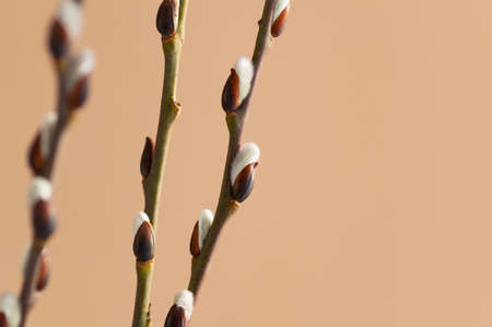 Easter branch of willow on a beige background. Willow branches and buds. Spring background. Copy space.