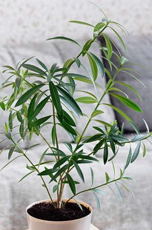 Indoor plant Nerium oleander close up. Tropical plants for home decoration. Poisonous house plant. Vertical crop.