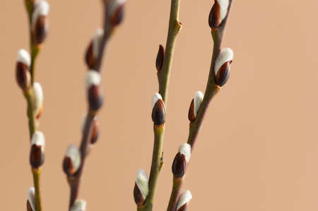 Easter branch of willow on a beige background. Willow branches and buds. Spring background. Close up.