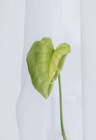 Single leaf of Monstera plant on white background. Close up, copy space. Vertical crop. Minimal concept.