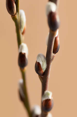 Easter branch of willow on a beige background. Willow branches and buds. Spring background. Vertical crop. 免版税图像