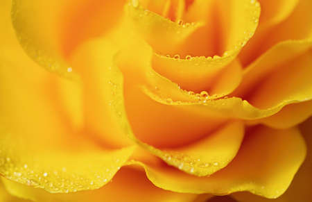 Yellow rose macro background. Flower close up texture.