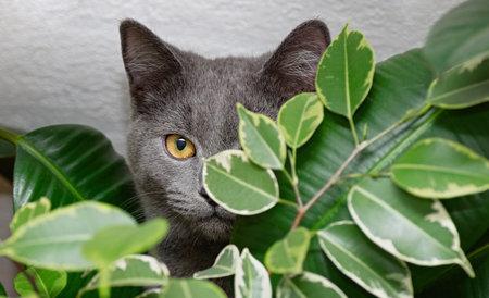 Gray British cat and indoor flowers. Cat of British Shorthair. Close up.