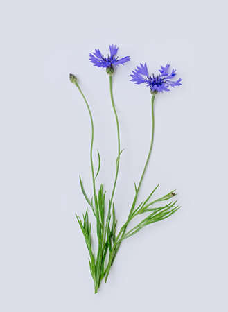 Three blue cornflowers or Centaurea cyanus flower isolated on white background. Vertical cropping. Flat lay. Copy space. Close up.