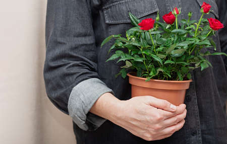 Close up of bright red flowers in a pot in hands of professional florist. Growing roses at home. 免版税图像
