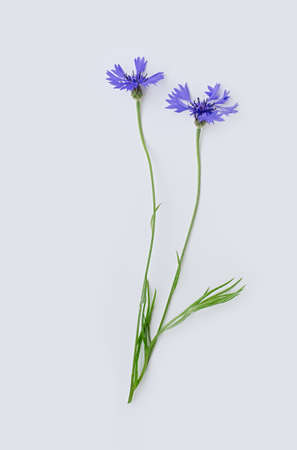 Two blue cornflowers or Centaurea cyanus flower isolated on white background. Vertical cropping. Flat lay. Copy space. Close up.