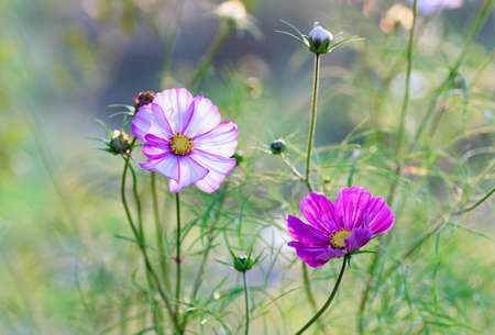 Beautiful cosmos flowers close up. Summer floral background. Cosmos flowers background. 免版税图像