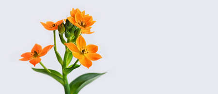 Blooming yellow Ornithogalum Dubium on a white background. Copy space. Close up. Macro.