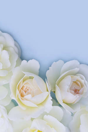 White roses on a blue background. Beautiful floral background. Blurred image. Selective focus. Close up. Vertical crop.