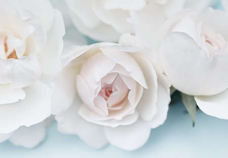 White roses on a blue background. Beautiful floral background. Blurred image. Selective focus. Close up. 免版税图像