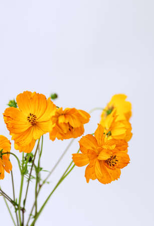 Fresh summer bouquet of orange cosmos flowers on white background. Floral home decor. Selective focus. Close up. Vertical crop.