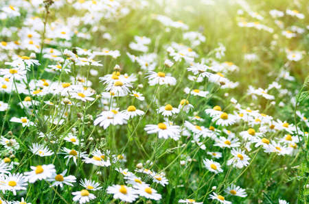 Floral summer background of field camomile flowers. Chamomile flowers field in sun light. Summer Daisies. Wild flowers field.