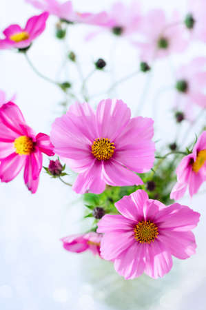 Fresh summer bouquet of pink cosmos flowers on pink background. Floral home decor. Close up. Copy space. Vertical crop.