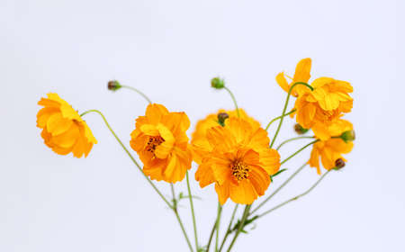 Fresh summer bouquet of orange cosmos flowers on white background. Floral home decor. Selective focus. Close up.