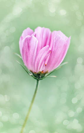 Single pink cosmos flower close up. Selective focus, blurry image. Vertical crop. Closeup.