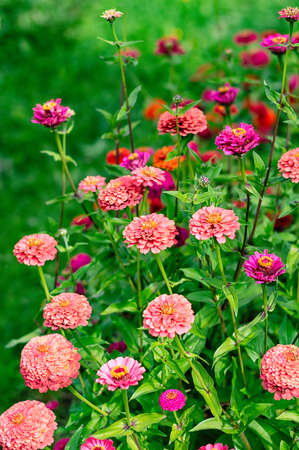 Blooming multicolored zinnia flowers in the garden. Vertical crop. Selective focus. Close up.