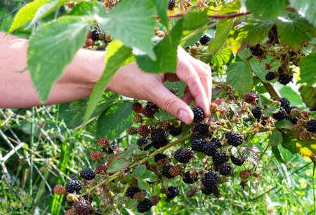 Harvesting ripe blackberries. Women's hands pick berries in the garden. Selective focus. Close up.