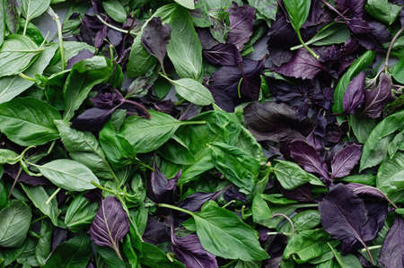 Green and purple basil leaves close up. Moody leaves background. Top view. Flat lay. Close-up. 免版税图像