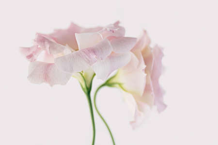 Delicate flowers of pink eustoma on a white background. Close up. Beautiful floral background.