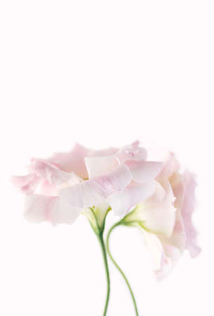 Delicate flowers of pink eustoma on a white background. Close up. Copy space. Vertical crop. Beautiful floral background. 免版税图像