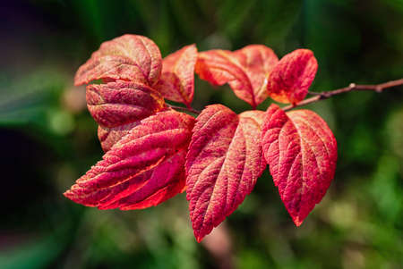 Bright red leaves on a green background. Beautiful autumn background. Spiraea Japonica close up.
