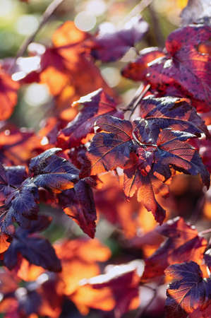 Vertical background from bright autumn leaves. Dark red leaves of Physocarpus opulifolius in the garden. Close up.