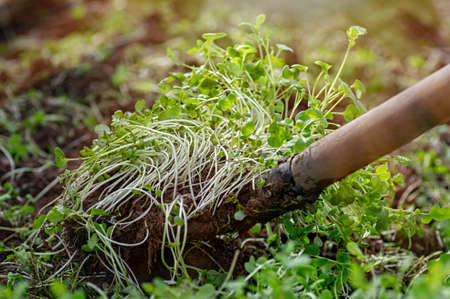 Improving soil structure with green manure. Mustard crops. The concept of organic green fertilizers in agriculture. Close up.