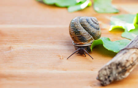 Large domestic snail, unusual pets. Keeping snails at home. Copy space. Close up. 免版税图像