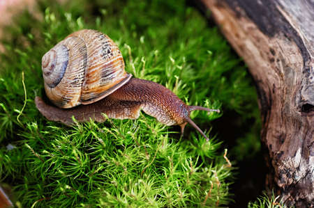 Large domestic snail, unusual pets. Keeping snails at home. Close up. 免版税图像