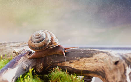 Large domestic snail, unusual pets. Keeping snails at home. Close-up. 免版税图像