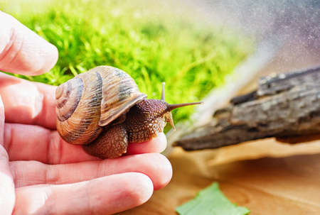 Domestic snail in a female hand. Large domestic snail, unusual pets. Keeping snails at home. Close up.