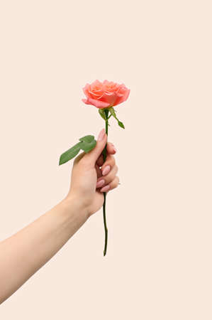 A woman's hand holds one blooming pink rose. The concept of romance and minimalism. Close up. Vertical crop.