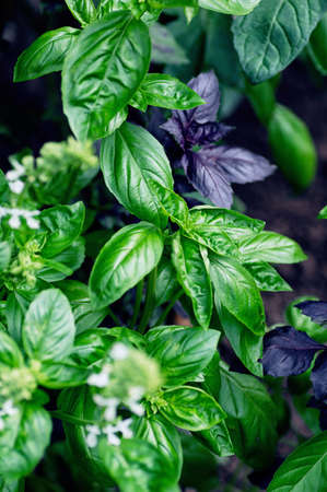 Fresh purple and green basil leaves close-up. Food background. Vertical crop. 免版税图像