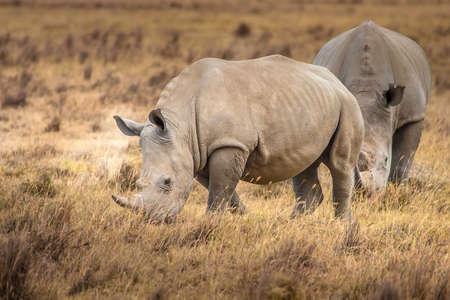 Rhinoceroses. Two Rhinoceroses eat grass. Kenya Africa. Safari in Africa.