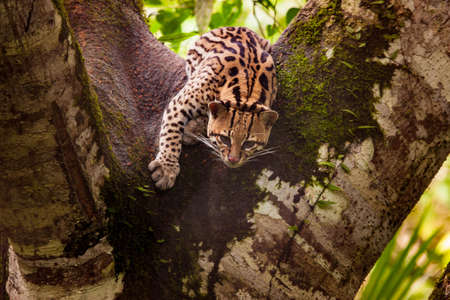 Leopardus wiedii. Felis wiedii. Margai is a wild forest tree cat. Amazon Ecuador. Forests near the Amazon River. Jungle. Travel around Ecuador.