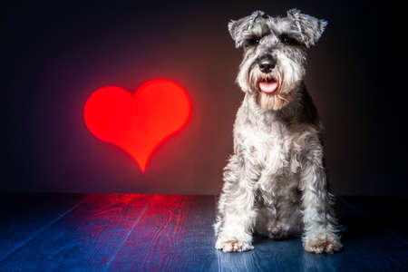 A dog sits on the background of the heart. Terrier. Red heart