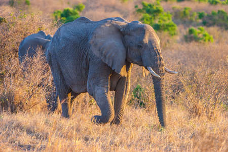 African elephant in the sun. Africa. Kenya. Safari in the national park of Africa. Animals of Kenya.